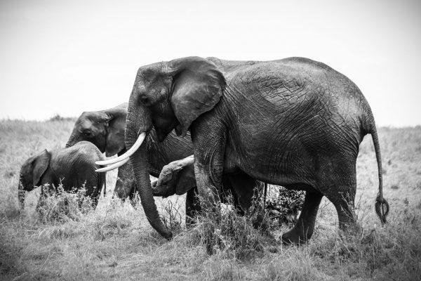 elephants Road Trip Evasion