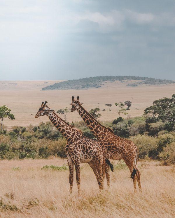 girafes Séjour en Afrique du Sud, Agence de Voyage Roadtrip Evasion