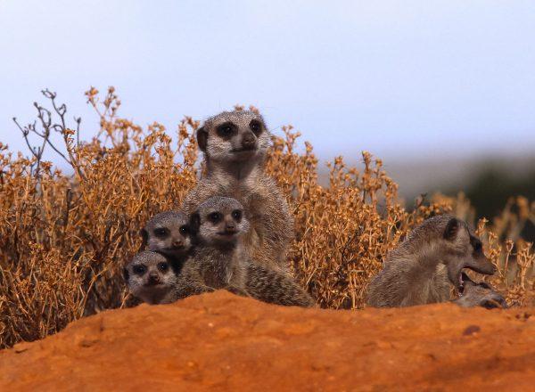 suricate Séjour en Afrique du Sud, Agence de Voyage Roadtrip Evasion