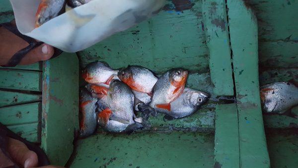 piranha Road Trip Evasion