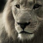 Lion Road Trip Evasion