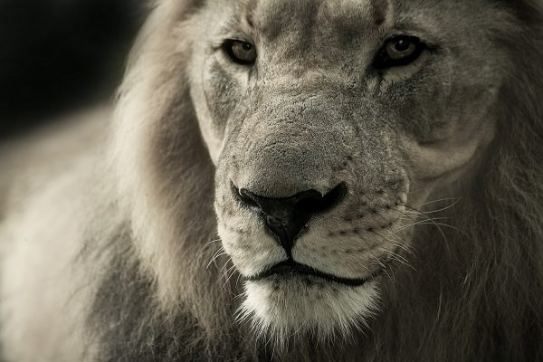 Lion Road Trip Evasion - Séjour en Afrique du Sud